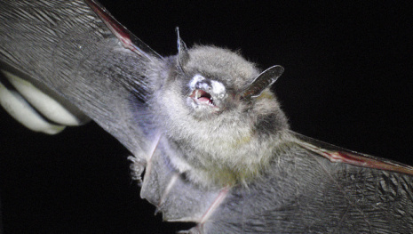 white-nose-syndrome-in-bats-confirmed-in-manitoba-114843
