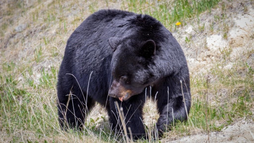 Black Bear Kills Family Dog in Jasper National Park