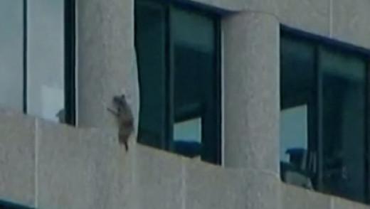 Skyscraper Climbing Racoon in St. Paul Rescued