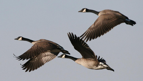 50-geese-killed-near-montreal-lightening-strike-may-be-cause-115187
