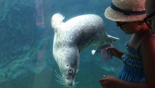 Assiniboine Park Zoo Welcomes Two Rescued Harbour Seals