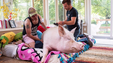 esther-the-wonder-pig-cancer-free-116099