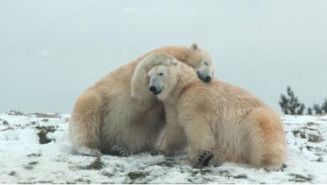 international-polar-bear-day-at-the-zoo-117296