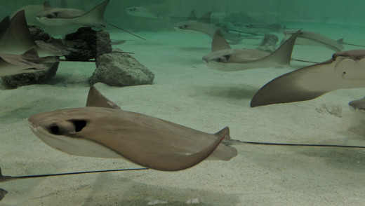Stingray Exhibit Coming to the Zoo
