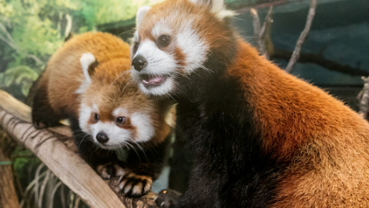 Red Panda Weekend at the Zoo