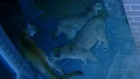 camera-catches-4-cougars-120643