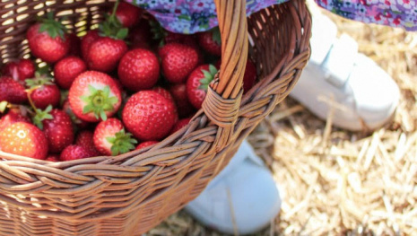 strawberry-picking-places-121421