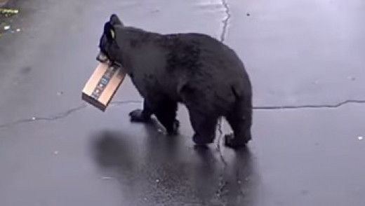 Porch Pirate Is A Bear