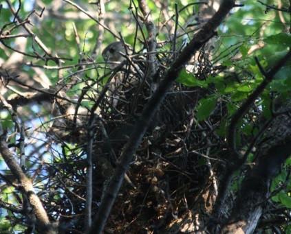 Hawk Stops Tree Removal